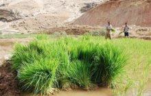 کشت برنج با آب فاضلاب شهری
